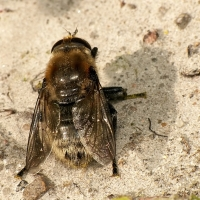 Syrphidae - Bzygowate