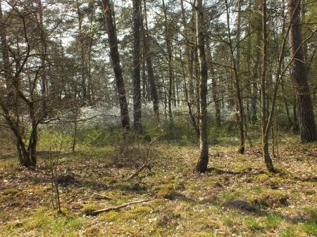 Las pod Ciebłowicami z kwitnącą tarniną