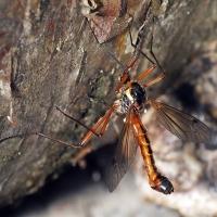 Tanyptera atrata - Pióroróg