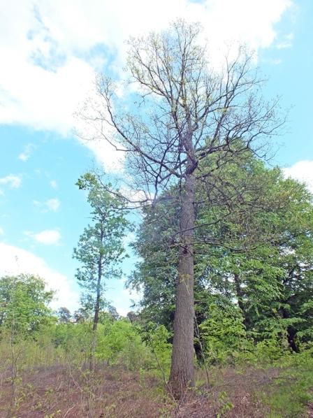 Las wiączyński - Samotny dąb, na którym odbywała się rójka