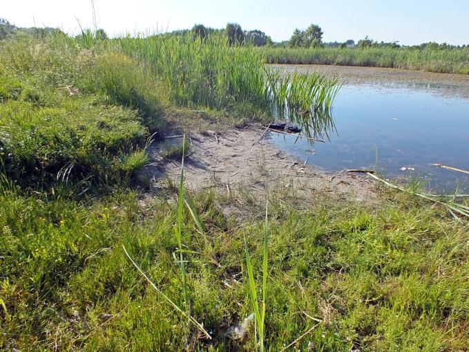 Widzew 13.06.2015 - Habitat. Pierzchotki biegały po piaszczystym brzegu w towarzystwie kusaków, błyskleni i bardzo licznych Saldula