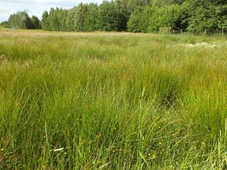 Wilgotna łąka na Widzewie - Habitat 15.06.2015