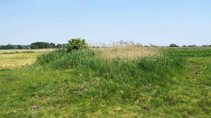 Słone Łąki w Pełczyskach w czerwcu, a właściwie to co z nich zostało: niewielka kępa słonawiskowej roślinności. Mimo to wciąż sprzyjające warunki rozwoju znajduje tu wiele gatunków muchówek, w tym Nemotelus uliginosus Fot. Jacek Strojny
