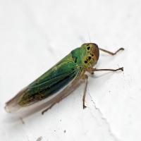 Cicadella viridis - Bezrąbek sadowiec