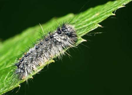 Wołosate 27.05.2014 Młode gąsieniczki bywają bardzo podobne do gąsienic Lymantria dispar