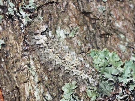 Rezerwat Magazyn ( Lubelskie ) 23.07.2015 Dorosła gąsienica
