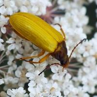 Cteniopus sulphureus - Grzebyczak żółtawy