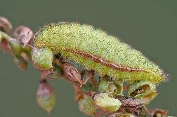 Gąsienica Lycaenidae nieznanego gatunku Fot. Marek Wyszomirski