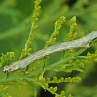Ectropis crepuscularia - Przylepek pomrocznik