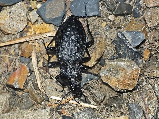 C.variolosus