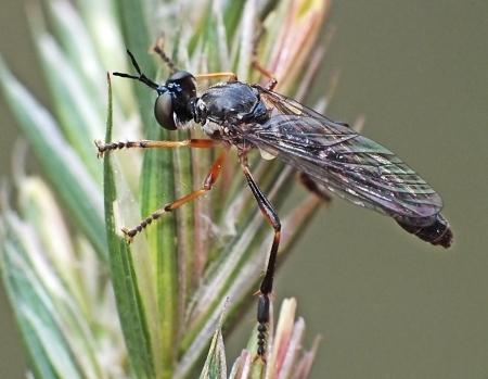 D hyalipennis