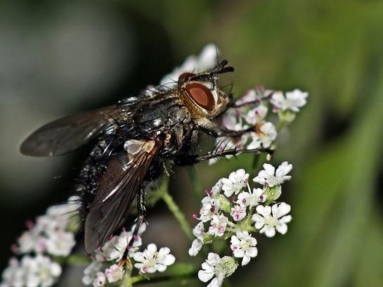 E.anthophila.
