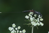 G.jaculator