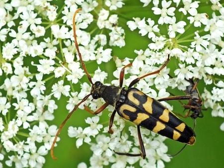 L.annularis