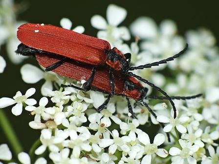 L. sanguineus