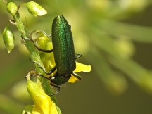 O.viridissima