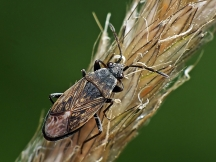 P.geniculatus