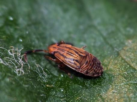 Peritrechus nymph