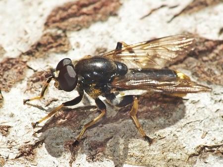 X. sylvarum