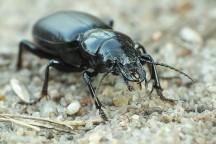 B.cephalotes