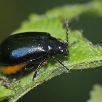 Chrysomelidae - Stonkowate