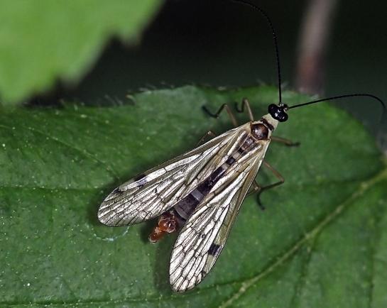 A.alpina