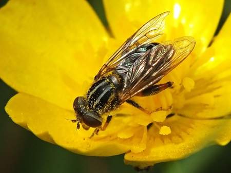 A.lineata