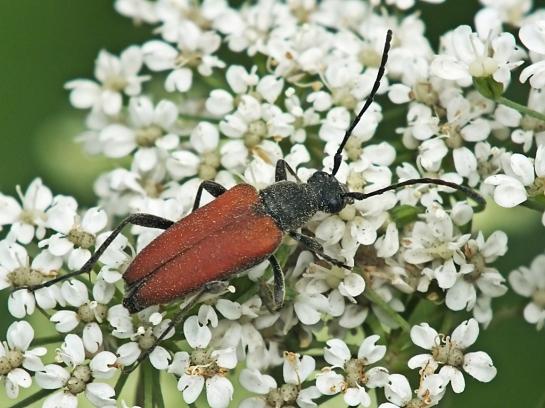 A.sanguinolenta.