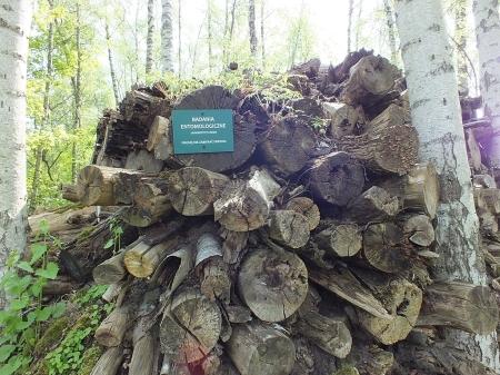 06.05.2015 Ułożone  w stos pnie różnych gatunków drzew stanowią doskonałe siedlisko dla rozmaitych gatunków ksylofilnych