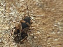 T.desertus
