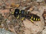 E.cavifrons.