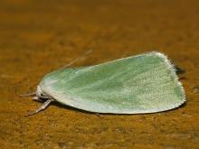 E.clorana