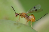 M.aculeatus