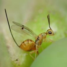 Megastigmus aculeatus