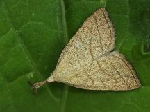 P. tentacularia
