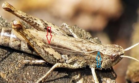 Niebieska strzałka wskazuje wyraźnie załamane boczne żebra przedplecza. Czerwona strzałka wskazuje poszerzone pole środkowe