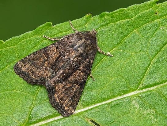 Oligia species