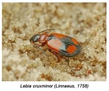 L.cruxminor
