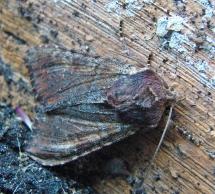 A. crenata