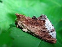 P.cucullina