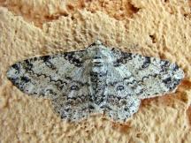 A.selenaria