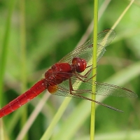 Libellulidae - Ważkowate