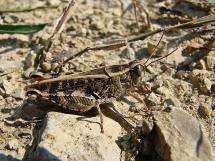 C. italicus
