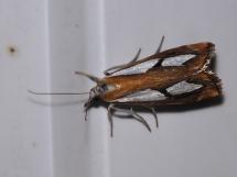 Catoptria species