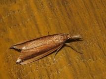 D.mucronella.