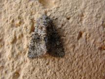 H.dysodea