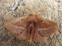 L.trifolii