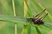 M.brachyptera