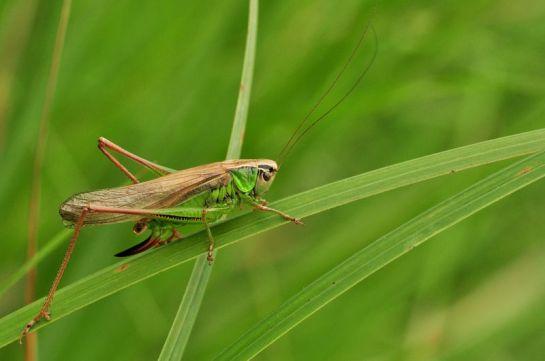 Metrioptera