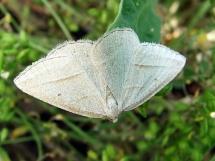 P.chlorosata